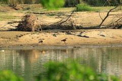 红润Shelduck雄麻鸭类ferruginea在尼泊尔 库存照片