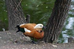 红润Shelduck雄麻鸭类ferruginea在莫斯科动物园在池塘的岸 库存照片