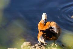 红润Shelduck,叫作Brahminy鸭子,在公园 库存图片