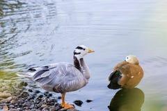红润Shelduck,叫作Brahminy鸭子,在公园 库存照片