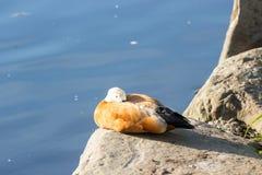 红润Shelduck,叫作Brahminy鸭子,在公园 免版税库存照片