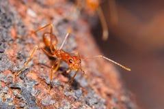 红火蚂蚁 免版税库存图片