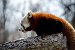 红熊猫上升的树 库存照片