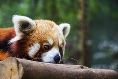 红熊猫休息 库存照片