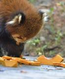 红熊猫吃着pumpkinï ¼  免版税库存照片