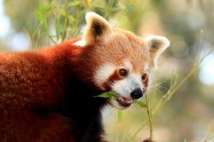 红熊猫吃 免版税库存图片