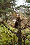 红熊猫在中心公园动物园里 库存照片