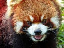 红熊猫开头嘴 免版税库存照片