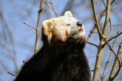 红熊猫或小熊猫 免版税库存照片