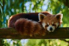 红熊猫熊四川中国 免版税库存图片
