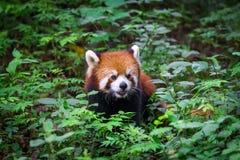 红熊猫的画象,小雄猫属fulgens,植物围拢的火狐狸 库存照片