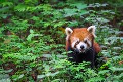 红熊猫的画象,小雄猫属fulgens,植物围拢的火狐狸 免版税库存照片