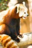 红熊猫野生动物休息的坐的树枝 库存照片
