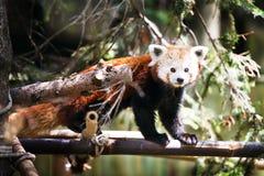 红熊猫 小雄猫属fulgens 库存图片