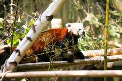 红熊猫 小雄猫属fulgens 免版税库存图片