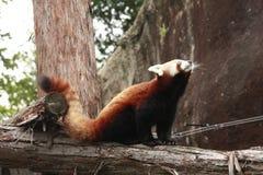 红熊猫 库存图片