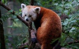 红熊猫 免版税图库摄影