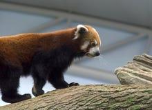 红熊猫 库存照片