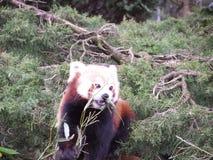 红熊猫 图库摄影