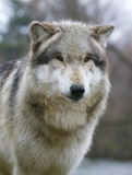 狼 图库摄影