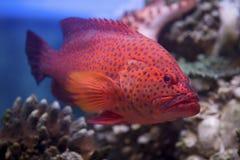 红珊瑚石斑鱼在红海游泳 免版税库存图片