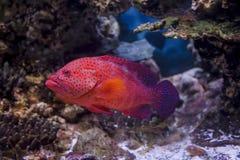 红珊瑚石斑鱼在红海游泳 免版税库存照片