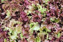 红珊瑚莴苣沙拉 免版税库存照片
