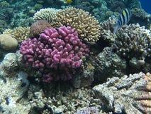 红珊瑚 免版税库存图片