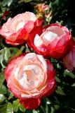 红白的玫瑰 免版税库存图片