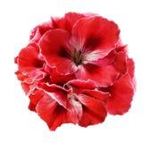 红白的秋海棠花束在白色的隔绝了与裁减路线的背景 没有阴影的特写镜头 免版税库存照片