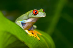 红眼睛的亚马逊雨蛙(Agalychnis Callidryas) 库存图片