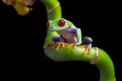 红眼睛的亚马逊雨蛙& x28; Agalychnis Callidryas& x29; 免版税库存图片