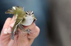红眼睛的捕虫鸣鸟 免版税图库摄影