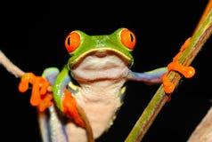 红眼睛的绿色雨蛙,格斯达里加 图库摄影