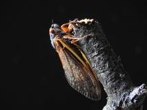 红眼睛的蝉 图库摄影
