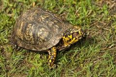 红眼睛的阿拉巴马龟盒-箱型海龟类卡罗来纳州 免版税库存图片