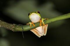 红眼睛的雨蛙关闭在夜密林 库存照片