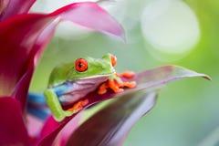 红眼睛的雨蛙哥斯达黎加 免版税库存图片