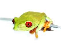 红眼睛的雨蛙(113), agalychnis callidryas,与白色backgr 免版税库存照片