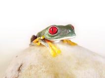 红眼睛的雨蛙(150), agalychnis callidryas 库存照片