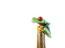 红眼睛的雨蛙(146), agalychnis callidryas 免版税图库摄影