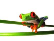 红眼睛的雨蛙83, Agalychnis callidryas 免版税库存图片