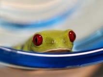 红眼睛的雨蛙(104), Agalychnis callidryas 免版税库存照片