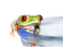 红眼睛的雨蛙(112), Agalychnis callidryas 库存照片