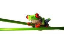 红眼睛的雨蛙(124) Agalychnis callidryas 免版税图库摄影