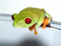 红眼睛的雨蛙(153), Agalychnis callidryas 库存照片