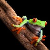 红眼睛的雨蛙 库存照片