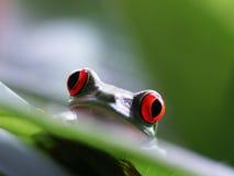 红眼睛的雨蛙(64) agalychnis callidryas 免版税库存图片