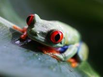 红眼睛的雨蛙(67) agalychnis callidryas 免版税库存照片