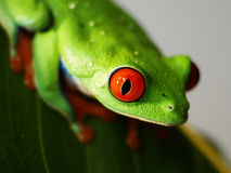 红眼睛的雨蛙(73) agalychnis callidryas 免版税库存照片